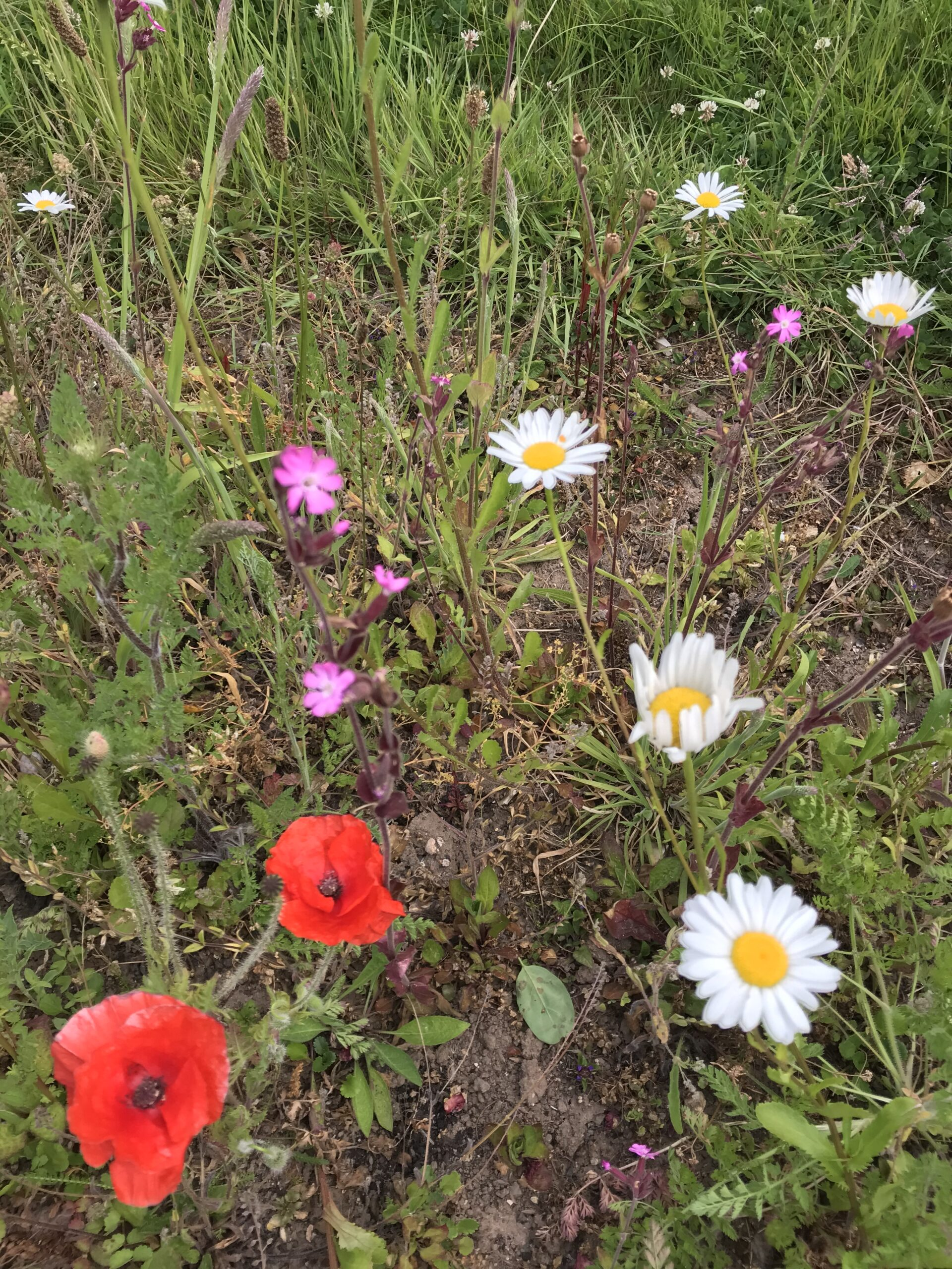 Life in the Meadow: Meadow Flowers