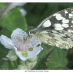 Marbled White, by Charles Sinclair