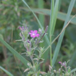 Great Willowherb with its 4-lobed stigma