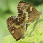 What will you find in this year's butterfly count?